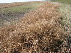 Canola crop south of LaSalle is left to ripen in the swath before combining.