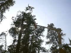 A Manitoba  Hydro crew lends a hand by using their bucket  apparatus to retrieve the bear and her cub from the tree.