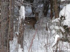 A deer is spotted in the woods at Falcon Lake.