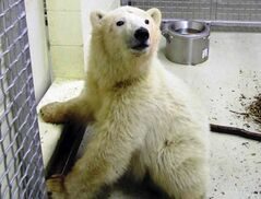 Aurora, the female cub that came to the Polar Bear Conservation Centre at the Assiniboine Park Zoo in late October, will be on exhibit today.