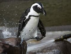 An African black-footed penguin is seen in a zoo in Stuttgart, Germany. The Assiniboine Park Zoo will be host to African black-footed penguins this summer.