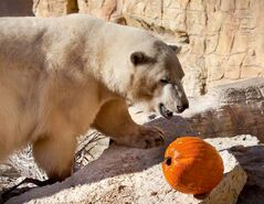 Hudson approaches his pumpkin. Pumpkins were handled out to animals at Assiniboine Park Zoo today to be played with, mauled, and snacked on.