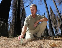 In this Friday, July 25, 2014 photo, Chad Hanson, of the John Muir Project, inspects a young Ponderosa Pine tree growing in an area destroyed by 2013's Rim Fire, near Groveland, Calif. Nearly a year after the Rim Fire charred thousands of acres of forest in California's High Sierra, a debate rages over what to do with the dead trees, salvage the timber to pay for forest replanting and restoration or let nature take its course. Hanson and other environmentalist say that the burned trees and new growth beneath them create vital habitat for dwindling bird such as spotted owls, and black-backed woodpeckers and other wildlife. (AP Photo/Rich Pedroncelli)