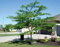 'Prairie Silk' honey locust is a small tree with very fine leaflets developed for southern Manitoba.