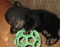 Little Makoon (Cree for little bear), a fove-week-old bear cub who weighs 5lbs 4oz, plays with a ball at the Dubois home in St. Malo, Man. on March 28, 2012. THE CANADIAN PRESS/HO, Rachel Walford
