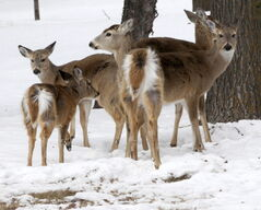 The province's white-tailed deer population has taken a serious decline after the coldest winter in 116 years.