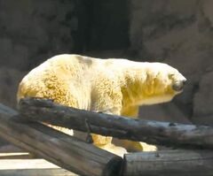Arturo the polar bear in his small Argentine zoo enclosure.
