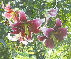 Orientpet lilies are crosses between Oriental and Trumpet lilies. Very fragrant, they can produce up to 20 blooms on a single stem and grow to a height of five feet. Shown: Northern Fire Orientpet.