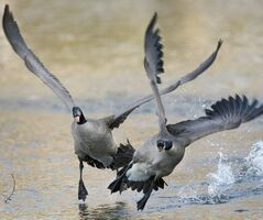 Geese battle this morning as a male defends his nesting site at the duck pond in St. Vital Park.