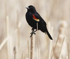 A red-winged blackbird watches the human activity on the trails at FortWhyte Alive on Earth Day.