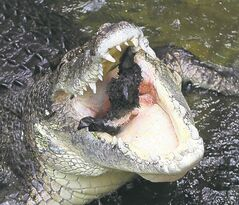 Rex, a five-meter (15-foot) 700 kilogram (1,543-pound) saltwater crocodile, lunges out of the water to snap up a rabbit during a feeding at Wildlife Sydney Zoo in Sydney Monday, March 3, 2014. Crocodiles are often referred to as nature's ultimate killing machine capable of unleashing the strongest bite force of any animal on the planet. (AP Photo/Rob Griffith)
