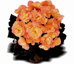 A compact, floriferous begonia with an upright habit, Elatior Dragone Sunset will brighten up a shady location with clusters of salmon-coloured double flowers. Blooms continuously from June to fall.