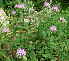 Avoid mildew problems by selecting mildew-resistant bee-balm.
