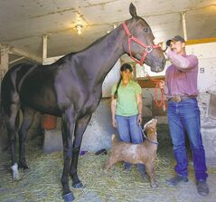 Jim and wife Amber Meyaard tend to Lil Missknowitall while stable goat Phyllis Diller tries to garner some attention in the barn area at Assiniboia Downs.
