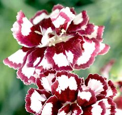 Fruit Punch Coconut Pinks is the newest Dianthus variety.
