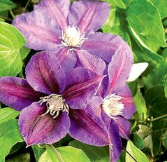 Clematis climbs by curling leafstalks that act as tendrils. 'Beth Currie' features overlapping plum-purple petals with a crimson central bar and creamy-red anthers.