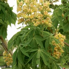 Ohio buckeye, called American horse chestnut, is an interesting tree, featuring upright, narrowly bell-shaped, greenish-white flowers with patches of yellow and occasionally red.