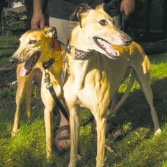 Retired racers Millie (left) and Romy (right) enjoy their retirement in Wolseley.