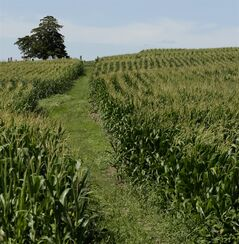 In this July 26, 2013, photo, the Sturgeon Cemetery near Sewal, Iowa stands as an island among corn plants. With ethanol production helping to drive up the price of corn and enticing farmers to plant on more and more acres, the cemetery is now surrounded by cornfields with only a primitive trail for access. (AP Photo/Charlie Riedel)