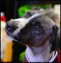 Hairless Harry is currently in another foster home, but deserves a permanent home.