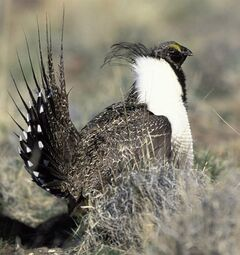 This undated image shows a wild sage grouse. THE CANADIAN PRESS/AP, USFWS, Gary Kramer