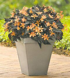 The tangerine-coloured blooms of Sparks Will FlyBegonia contrast vividly with the chocolate-brown foliage. Perfect for shade.