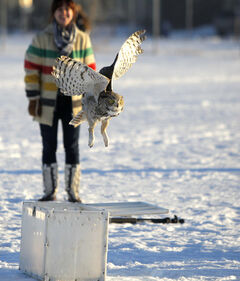 A Great Horned Owl leaves a box for the wild at Shamrock Park on Tuesday