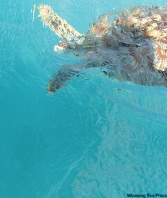 Tourists can swim with sea turtles, massive beasts attracted by the fish the boat owner tosses into the water.