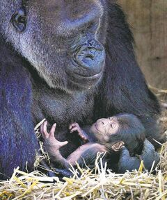 If we were born as physically mature as, say, an infant gorilla, our mothers would be forced to carry us for 20 months. If they carried us that long, our larger heads wouldn't make it through the birth canal. We would be, literally, unbearable.