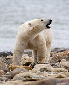 A male polar bear near Churchill. The large animals are 'something we live with,' Churchill's mayor says.