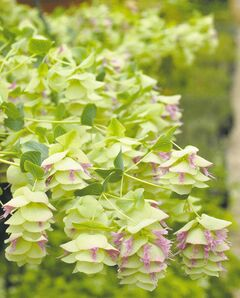 Although edible, Kent Beauty Oregano is more often used as an ornamental in baskets and planters. Dainty, grey-green foliage gives way to light-green, then deep-pink flowering bracts. Don't be fooled by its modest appearance at the outset. This one truly is a beauty.