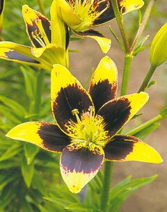 The Lily Nook 