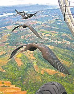 Northern bald ibises fly in formation next to a microlight aircraft. The birds positioned themselves to fly just behind and to the side of the bird in front, timing their wing beats to catch the uplifting eddies.