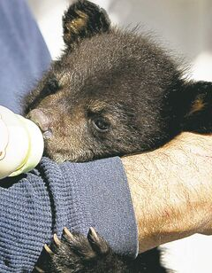 Bear cub Makoon was spared a death sentence and was released back into the wild.
