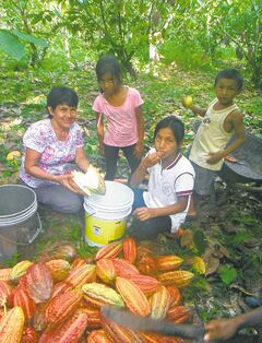 A Peruvian family harvests cacao