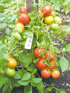 Diminutive in size, cherry tomatoes are easy for popping in your mouth. Try growing Tomato Droplet in a small container on your patio but remember to water regularly and mulch the soil surface. Small, pear shaped tomatoes are ready 70 days from transplant.