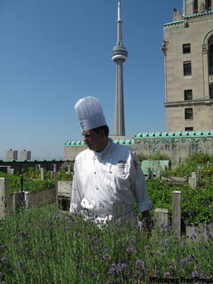 Executive chef David Garcelon in his herb garden on the roof of the Royal York Hotel.