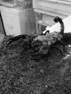 July 31 -- Winnipeg's newest outlaw: The emperor scorpion, one of the species now banned under Winnipeg's pet bylaws. (JEFF MCFARLANE/SUPPLIED/CANSTAR)