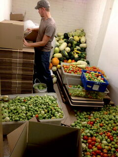 Matt Dueck saves a crop of tomatoes from an early threat of frost at the CMU Farm earlier this year.