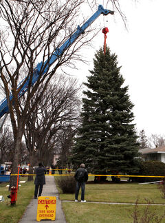 Christmas Tree for City Hall is cut down on Niagara Street, Nov. 4, 2012