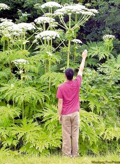 Nasty, poisonous plant threatens to spread across Canada.