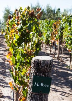 Malbec grapes ripen on the vines at the vineyards at Vistalba Winery in Mendoza, Argentina.