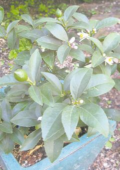 Even an eight-inch-tall Meyer Lemon plant bears fruit. For winter, place in a room with a south- or west-facing window. Mist the leaves frequently.