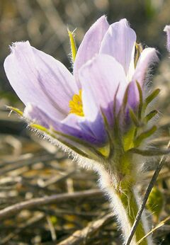 The crocus is a joyful sight to Manitobans, heralding the arrival of spring after a long winter.