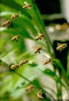 Several North American cities allow urban beekeeping.
