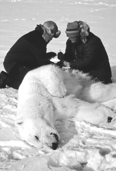 Researcher Ian Sterling (right) draws blood from a tranquilized polar bear.