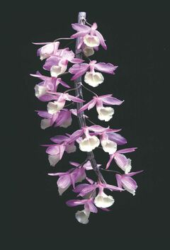Dendrobium pierardii, a pendulous variety with long canes, can be grown successfully in your home with the right conditions. Use a blossom booster fertilizer at half the recommended strength when growth is maturing.