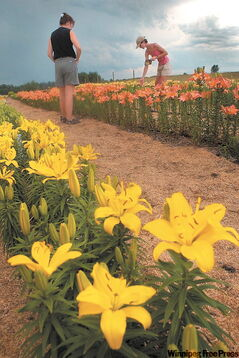 Different varieties of lilies in the Lily Nook's fields south of Neepawa during the town's annual Lily Festival.
