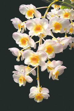 Dendrobium is one of the most diverse orchid families in the world. Grow in a well-drained mix of coconut husk chips or fir bark. Shown: Dendrobium farmerii.