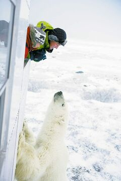 Tourist marvels at a polar bear during an excursion at Churchill.